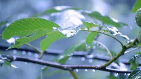 Rain day green leaves tree summer. Close-up stock video