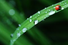 After the rain. Dew drops on grass and ladybird bug Royalty Free Stock Photo
