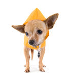 Rain dog Stock Photography
