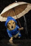 Rain dog. Blue rain dog and umbrella stock photos