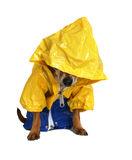 Rain dog Stock Image