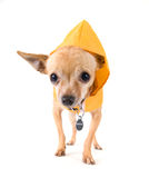 Rain dog Stock Images