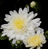 Rain Drenched Chrysanthemum Bloom and Buds Stock Images