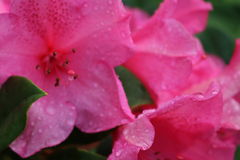 Rain-Drenched Pink Azalea Blooms. Rain-drenched azalea blooms after a spring shower Stock Photo