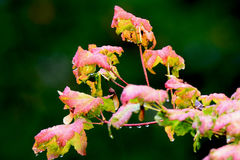 Rain dripping from fall colored leaves. Rain dripping from fall colored vine maple leaves stock photography