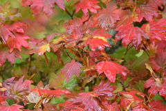 Rain dripping from fall colored leaves. Rain dripping from fall colored vine maple leaves royalty free stock photography