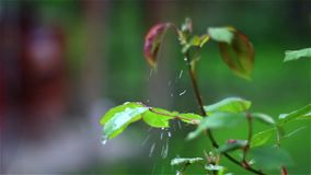 Rain dripping on rose leaf stock footage