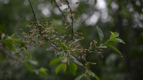 Rain drips on the branches stock video footage