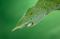 Rain drop. Leave with water drop against green background Royalty Free Stock Photography
