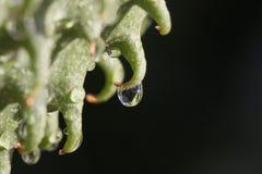 Rain Drop. Macro shot of a rain drop hanging from a soursop fruit's horn Stock Photo