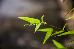 Rain drop on bamboo leaves Royalty Free Stock Images