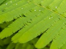 Rain Drop on Cha Green Leaf. In The Garden Royalty Free Stock Photography
