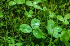 Rain drop on clover Royalty Free Stock Image