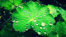 Rain drop. Drops on a foliage royalty free stock images