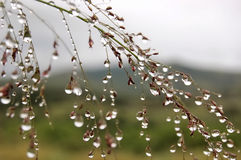 Rain drop grass Stock Photography