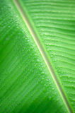 Rain drop on green banana leaf Stock Photography