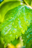 Rain drop on a green leaf Stock Image
