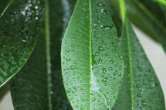 Rain drop on green leaves. Stock Photo