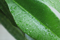 Rain drop on green leaves. Royalty Free Stock Photography