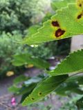 Rain drop. The last drop of rain falling off the leaf stock photos