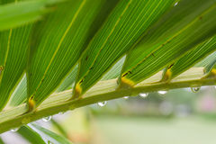 Rain drop on palm leaves Stock Photo