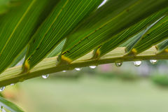 Rain drop on palm leaves Stock Image