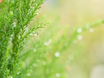 Rain Drop on The Pine Leaf. The Rain Drop on The Pine Leaf Royalty Free Stock Images