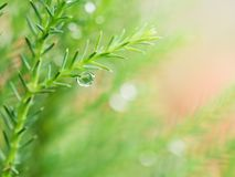 Rain Drop on The Pine Leaf. The Rain Drop on The Pine Leaf Stock Photos