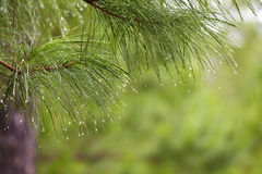 Rain drop on pine tree Royalty Free Stock Images