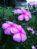 Rain drop on pink flower Stock Images