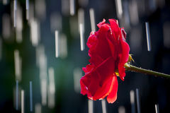 Rain Drop Rose. Just a summer rain in the garden Royalty Free Stock Photo