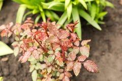 Rain drop on small rose Bush, beautiful Royalty Free Stock Photography