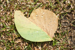 Rain drop on teak leaf. Stock Images