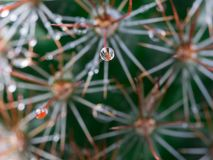Rain Drop on The Torn of Cactus. Rain Drop on The Tip of The Torn of Cactus Royalty Free Stock Photo