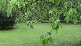 Rain drop tree branch. Rain water drops fall and flow on apple fruit tree branch twig leaves in spring garden stock video
