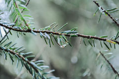 Rain drop on a twig. In the forest after heavy rain Royalty Free Stock Photos