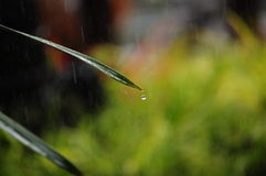 Rain droplet rolling of a palm leaf Stock Photos