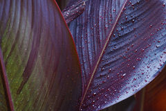 Rain droplets on canna leaves Stock Image