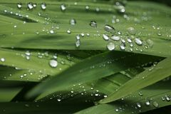 Rain Droplets on Green Plant Foliage. Rain droplets glisten on green plant foliage. Focus is on the central droplets. Green background and textures suggest Stock Images