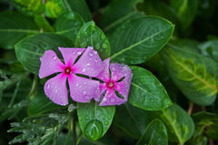 RAIN DROPLETS ON PINK PERIWINKLE Stock Image