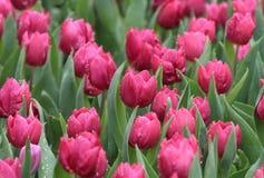 Rain droplets on tulip field Stock Photo