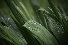 After the Rain. Droplets of Water on Montbretia leaves in Surrey Hills, England, UK Royalty Free Stock Photos