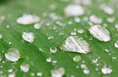 Rain drops. Closeup of drops on lily leaf (color version). Shallow focus depth on center drops royalty free stock photo