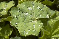 Rain drops. Rian drops on the leaf of a Lady's Mantle Stock Image