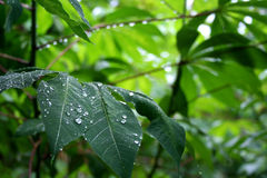 Rain drops. On leaves after a heavy rain royalty free stock photos