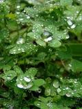 Rain drops. And green clovers Stock Photos