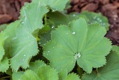 Rain drops on alchemilla mollis plant leaf. Detail of rain drops on alchemilla mollis plant leaf Stock Photography