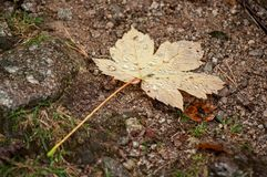 rain drops on autumnal maple leaf falling on the floo royalty free stock photos