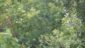Rain drops on a background of green leaves in the summer park.  stock video footage