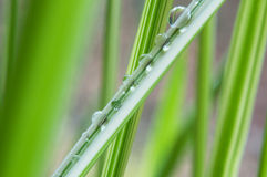 rain drops on bamboo leaves Royalty Free Stock Photography